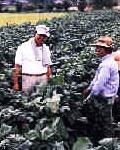 黒豆畑で働く人々