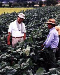 黒豆を収穫する農家